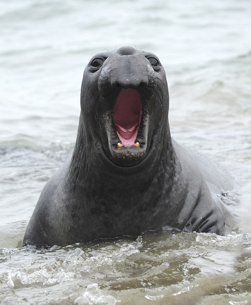 elephant seal bellowing close up male juvenile , piedras blancas